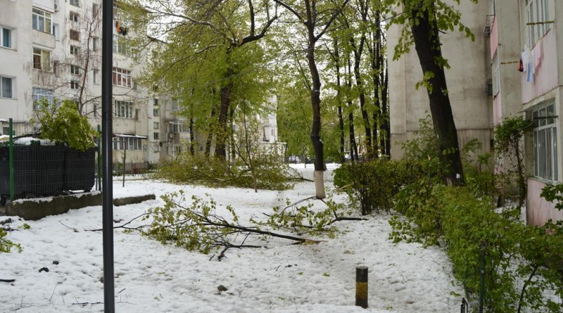 copac-cazut-rupt-crengi