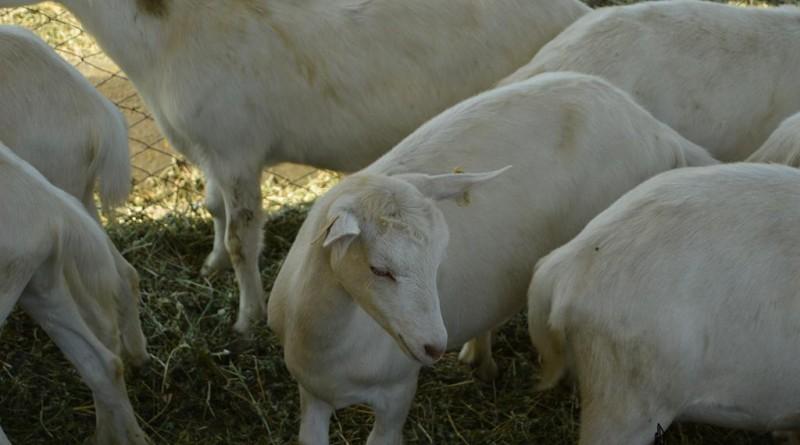 agro-zoo-capre