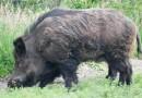 Numărul focarelor de pestă porcină africană (PPA) a urcat la 611 în ultima săptămână